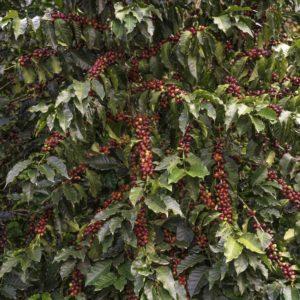 coffee-tree-1-of-1